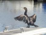 Un cormoran sèche ses ailes